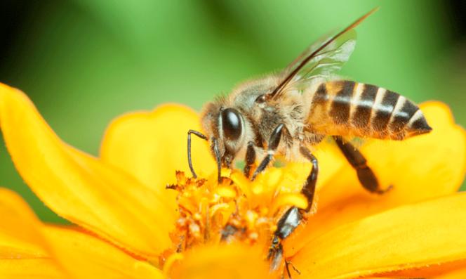 EUA incluem abelha em lista de espécies ameaçadas pela primeira vez
