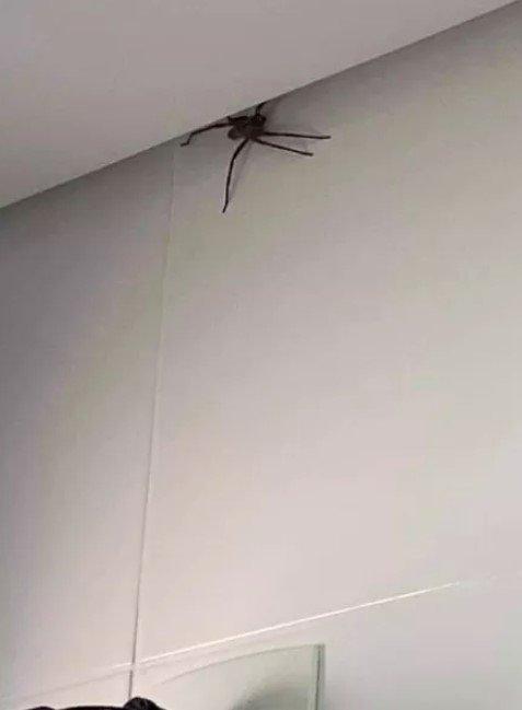 Aranhas gigantes invadem casas de Belo Horizonte