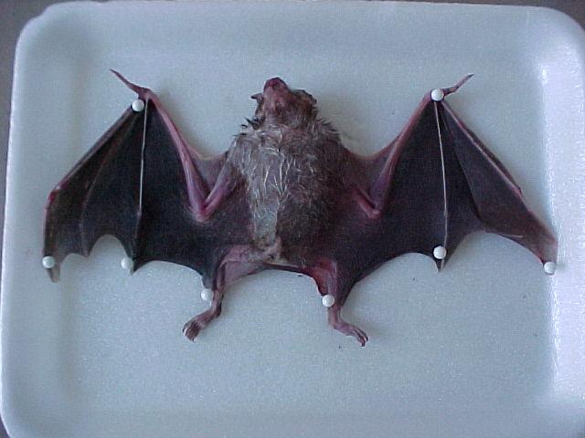 Temporada dos morcegos em Curitiba. Veja o que fazer ao se deparar com um