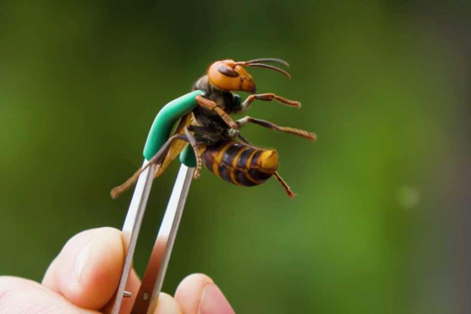 Não há registros de 'vespas assassinas' no Brasil; entenda os boatos sobre os insetos