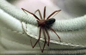 Na pandemia, Curitiba tem o menor número de acidentes com aranha-marrom em 28 anos