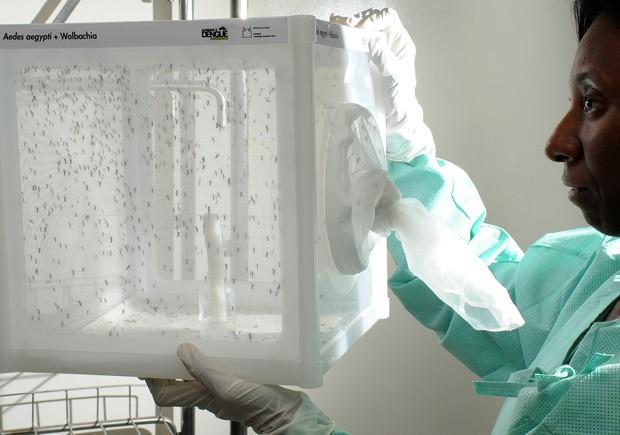 Fiocruz vai liberar Aedes aegypti com bactéria no Rio para combater dengue