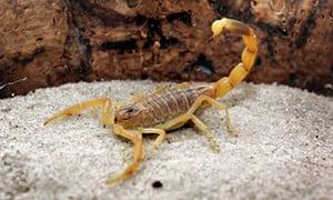 Adaptados ao ambiente urbano, escorpiões proliferam e picam cada vez mais
