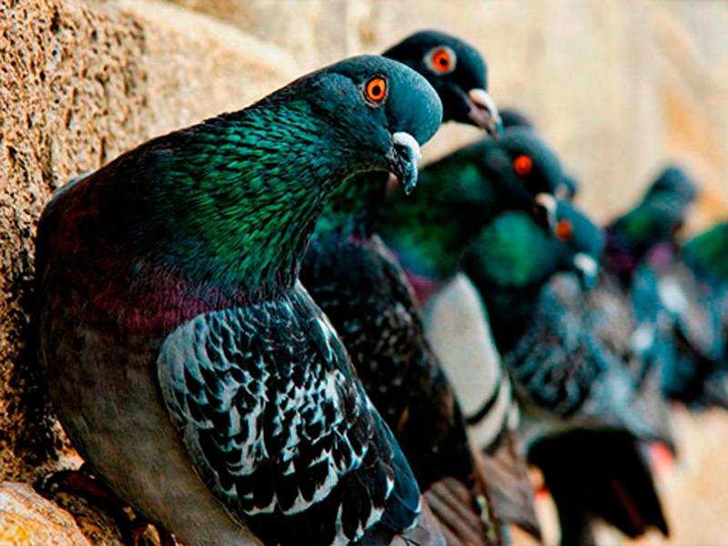 Infestação de piolho de pombo atinge escola pública na Grande BH