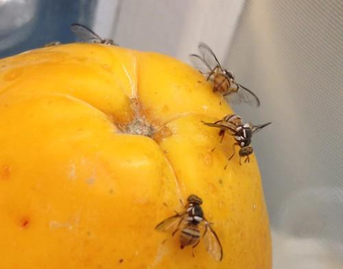 As moscas são os principais transmissores de viroses no período chuvoso