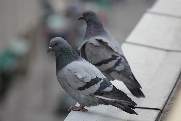 Pombos em condomínios exigem cuidados